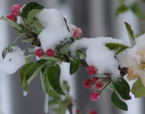 Snow in May, red berries on boughs, green leaves with snow